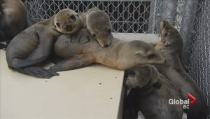 Specialist from Vancouver Aquarium help California sea lions