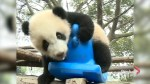 Panda cubs pose for New Year greetings in southwest China