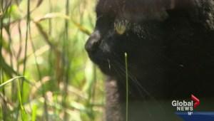 Calgary Humane Society warns owners to keep cats indoors