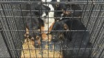 Van with 4 puppies in cage strapped to roof incites several 911 calls