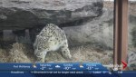 New snow leopard at the Calgary Zoo