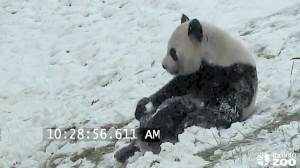 "Video of Toronto Zoo panda ""bear-bogganing"" goes viral"