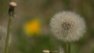 What Calgary is considering to deal with dandelions?