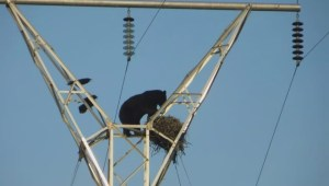 Bear climbs electric tower for food