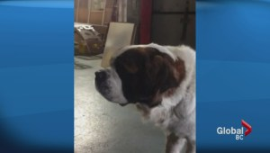Tzou the 3-year-old St. Bernard goes missing from stolen truck