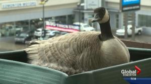 Goose sets up home on Edmonton man's balcony