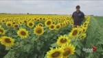 Sunflower season comes to Caledon East