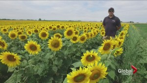 Sunflower season comes to Caledon East