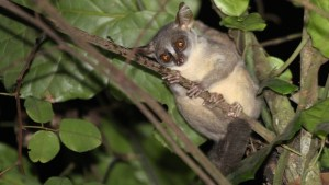 Scientists identify new primate species, may already face extinction