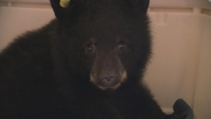 Meet 'Tiny Tim' the orphaned bear cub
