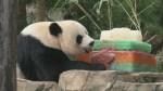 Panda Bei Bei celebrates 1st birthday with some cake