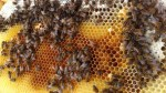 Beekeepers get resourceful to deal with dying honey bees