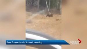 Bear encounter in Banff highlights issue of human activity in animal habitat
