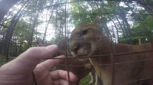 Man records himself jumping fence to pet cougars at zoo