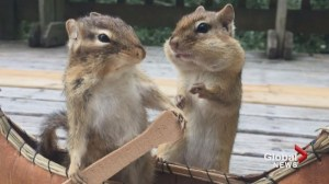 Fredericton woman attracts chipmunks, squirrels; captures unique photos