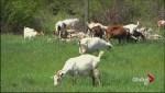Goats who eat invasive weeds