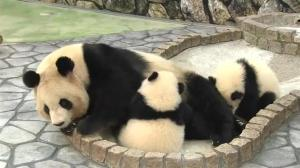 Panda twins reunited with mom at Japanese zoo