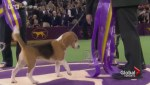 A Canadian beagle wins Best in Show at the prestigious Westminster Dog show