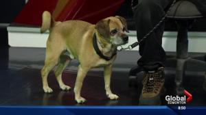 Edmonton Humane Society: Lloyde the dog