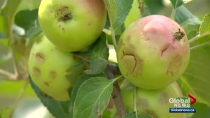 'I can't use any of them': hail wipes out apple orchard north of Saskatoon