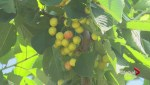 """Access to Chinese market a """"game-changer"""" for Okanagan cherry producers"""