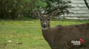 Birth control for island deer