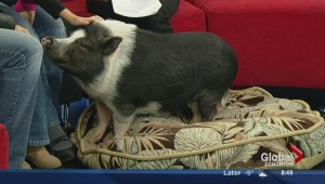 Eli the pig visits the Morning News