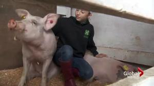 Pig whispering; A new twist on an old skill