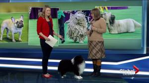 Meet the YYC dog competing in the Westminster Kennel Club Dog Show