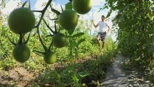 Grab your tomatoes while you can, the end could come early to Manitoba's tomato season