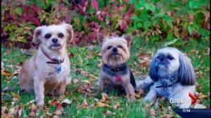 Alberta man despondent after his Jeep is stolen with his 3 dogs inside