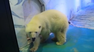 Pizza the 'world's saddest polar bear' showing signs of mental decline in mall zoo