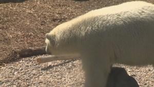 Winnipeg polar bears poop glitter for research at Assiniboine Zoo