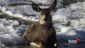 Dramatic deer rescue in Alberta caught on camera goes viral