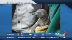 Calgary Zoo celebrates baby Humboldt penguin