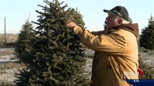 Finding and caring for the perfect Christmas tree this festive season