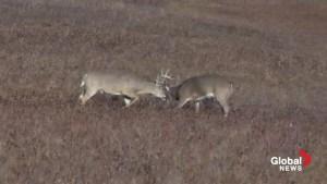 Bucks duel at Nose Hill Park