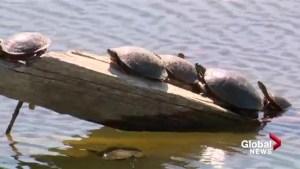 Elizabeth Hall Wetlands is turtle heaven