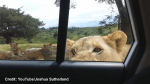 Video of Lioness opening car door with teeth goes viral