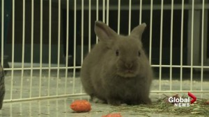 Lethbridge pet store says buying a bunny for Easter is a bad idea