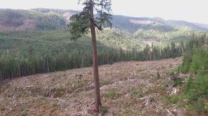 Drone footage captures climber scaling massive B.C. Douglas-fir tree nicknamed 'Big Lonely Doug'