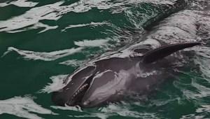 Chester the false killer whale enjoys the rain