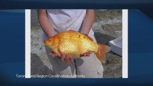 Giant goldfish are taking over!