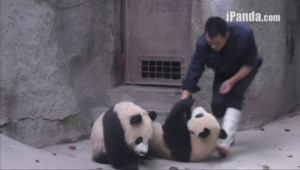 Baby pandas wrestle with their keeper