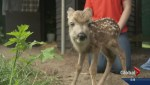 Stop 'rescuing' fawns that don't need help, says Kelowna conservation officer