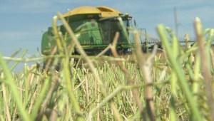 Mustard Festival shines spotlight on one of Saskatchewan's biggest exports