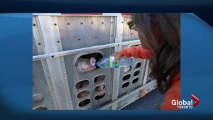 Trial resumes for Ontario woman who gave water to pigs being trucked to a slaughterhouse