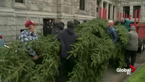 Arrival of the Christmas tree to the B.C. Legislature