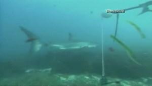 Deeper understanding of sharks