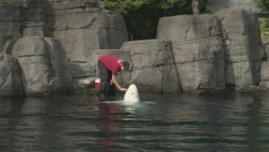 Vancouver Aquarium's captivity program under fire